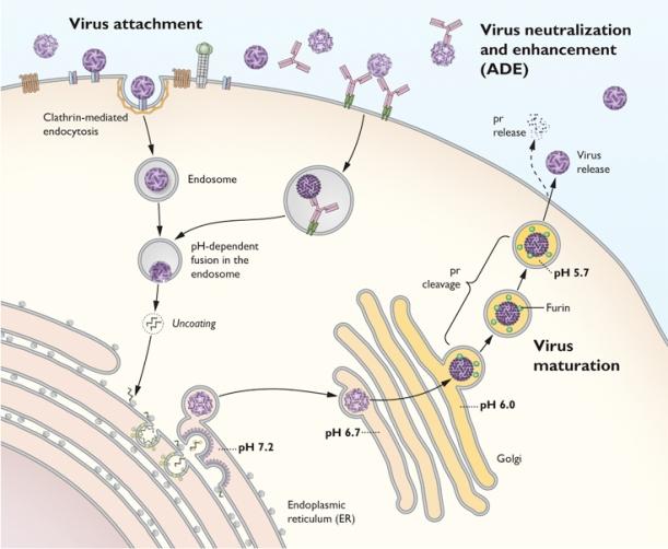 Virus ENVC