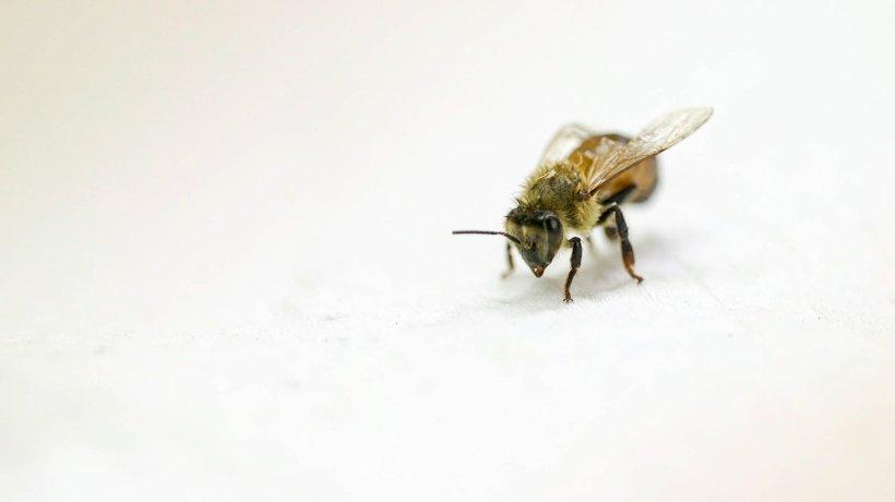 honeybee-1_wide-69991a585256d0c0f7f58402e9d053b90f955d9a-s1500-c85
